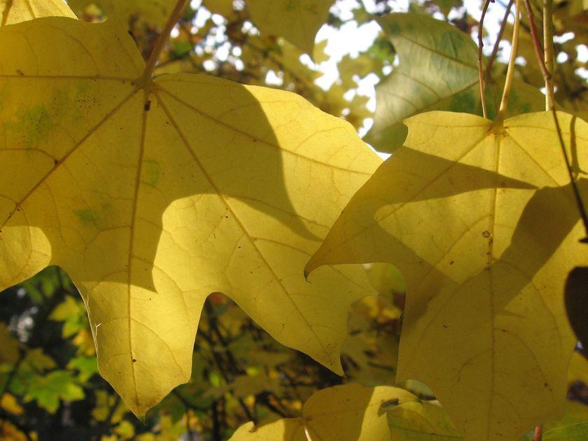 yellow-autumn-leaves
