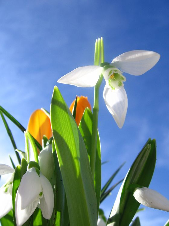 spring-flowers-snowdrop