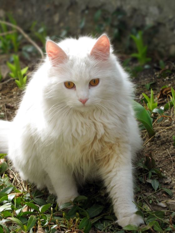 white-kitty