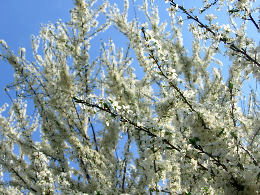 white-spring-tree