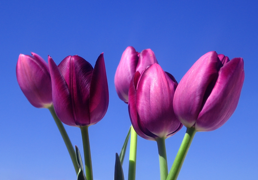 five-purple-tulips