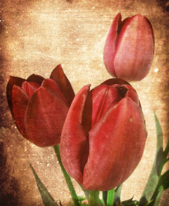 retro-tulips