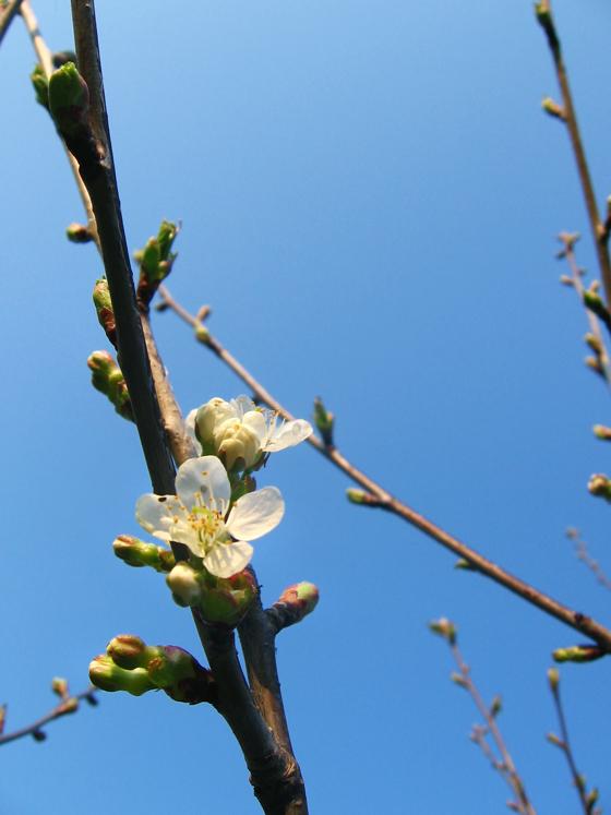 tree-blossom