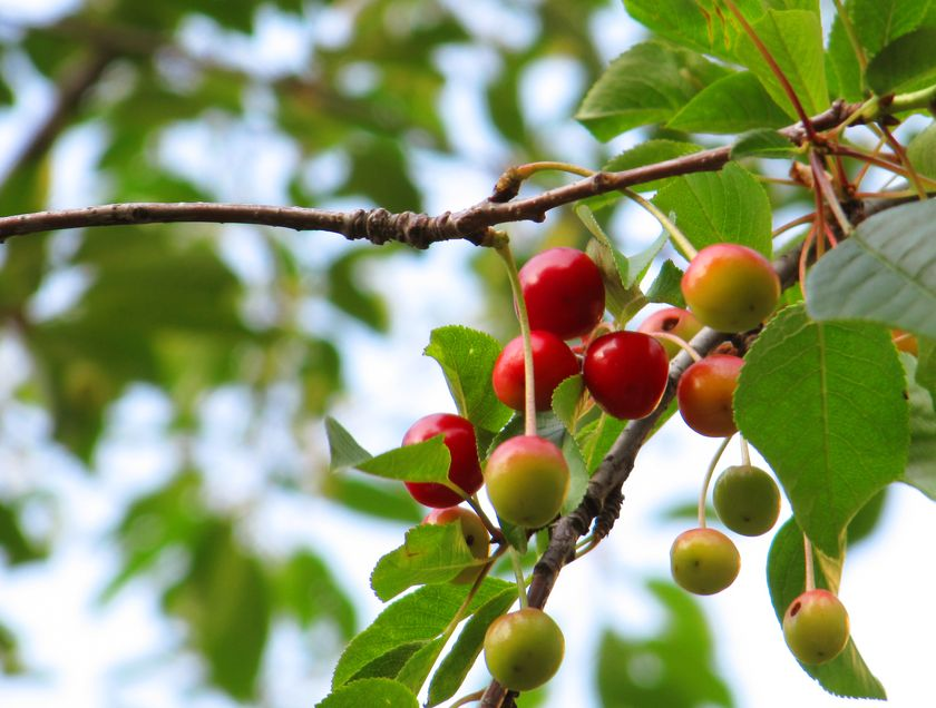 cherries-on-a-tree