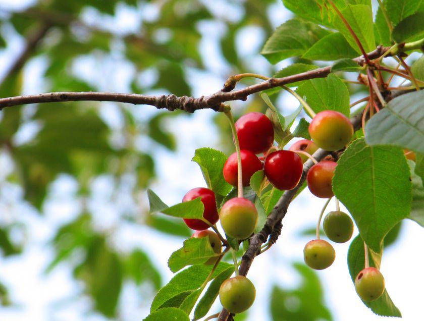 cherries-on-a-tree
