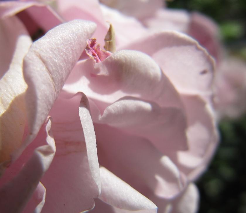 pink-rose-macro