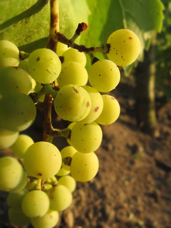 sweet-golden-grape