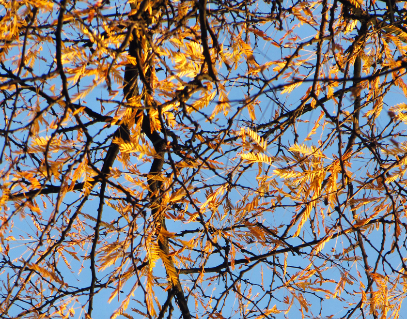 golden-autumn-leaves-against-blue-sky