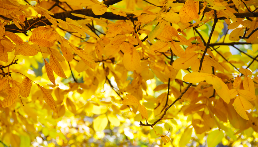 Bright yellow autumn leaves « Blog Archive « Z Photo Blog