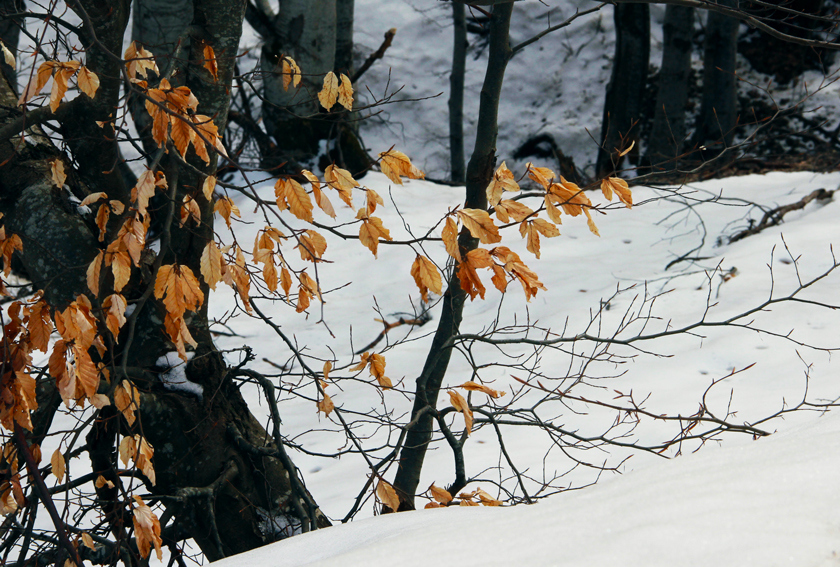 snowy-forest-golden-leaves
